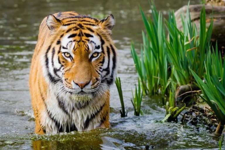 tiger at Ranthambor